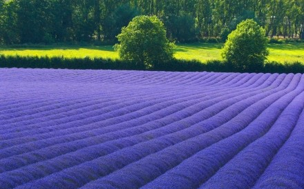 Lavender Fields England