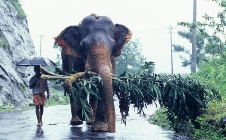 Elephant Monsoon Kerala