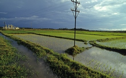 Paddy Fields Near Quang Tri