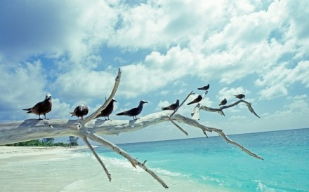 Brown Noddy Terns Seychelles