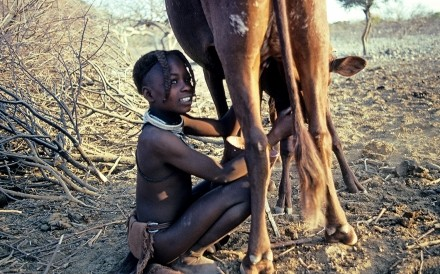 Himba Girl milking